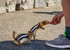 Two ground squirrels eating from a boy`s hand, being fed by a boy. Golden-mantled Ground Squirrel Royalty Free Stock Photo