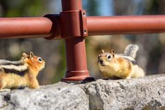 Two ground squirrels facing each other on rocks. Golden-mantled Ground Squirrel Royalty Free Stock Photography