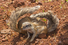 Two Ground Squirrels with Folded Tails Stock Photos