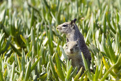 Two Ground squirrels Stock Photo