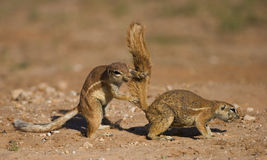 Two Ground Squirrels interacting in a comic way Royalty Free Stock Photography