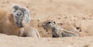Two Ground Squirrels looking for food in dry Kalahari sand artis. Two Ground Squirrels looking for food in the dry Kalahari sand artistic conversion Royalty Free Stock Images
