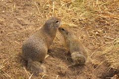 Two Ground Squirrels Royalty Free Stock Photo