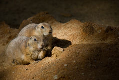 Two groundhogs Stock Images