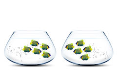 Two groups of angelfish in fishbowls. Looking to each other Stock Images