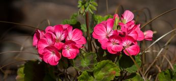 Two Bunches of Pink Geraniums Panorama. Two groups of pink Geranium flowers with brown background, panorama format Royalty Free Stock Photography