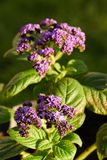 Two groups of purple heliotrope blooms Stock Image