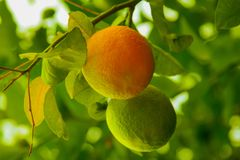 Two growing oranges, green and orange ones stock photo