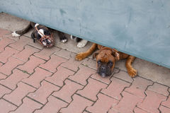 Two guard dogs boxers. Under the gate Royalty Free Stock Image