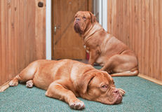 Two guard dogs in front of the door Royalty Free Stock Photo