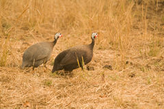 Two guinea fowl Stock Photography