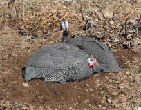 Two Guinea Fowl Dust Bath Stock Images