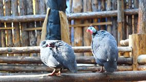 Two guinea fowl sitting on the fence and clean the feathers. Sunny spring evening. Sunset stock video