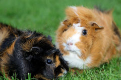 Two Guinea pig Stock Photography