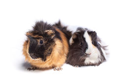 Two guinea pig on a white background Royalty Free Stock Photos