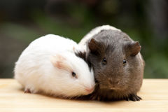 Two Guinea Pigs Stock Photos