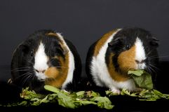 Two Guinea Pigs royalty free stock image