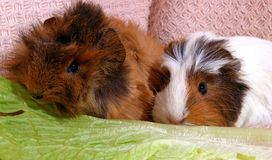 Two guinea pigs. Royalty Free Stock Photo