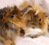 Two guinea pigs. Royalty Free Stock Photography