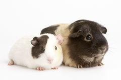 Two Guinea Pigs Against White Background Stock Photos