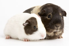 Two Guinea Pigs Against White Background stock photography