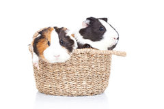 Two guinea pigs in a basket Stock Image