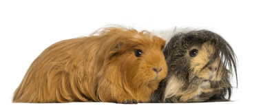 Two Guinea Pigs - Cavia porcellus, lying Royalty Free Stock Photo