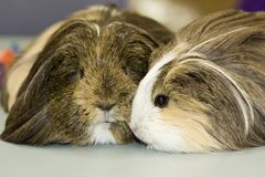 Two Guinea pigs close up Stock Photography