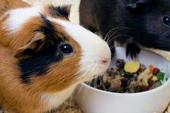 Two Guinea pigs closeup Stock Photo
