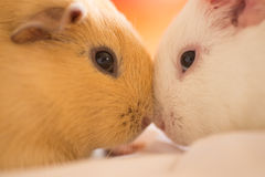 Two guinea pigs cuddling Royalty Free Stock Photography
