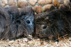 Two Guinea pigs. Two Guinea pigs are so cute Royalty Free Stock Images