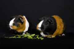 Two Guinea Pigs eating Royalty Free Stock Image