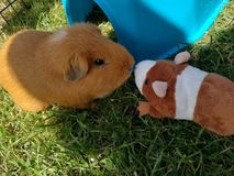 Guinea pig on green grass and her little friend stock photo