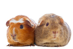 Two guinea pigs isolated Stock Image