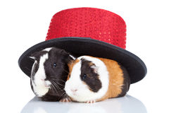 Two  guinea pigs  with a magician hat Royalty Free Stock Photo
