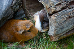 Two guinea pigs met. On the nature Stock Images