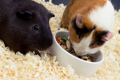 Two guinea pigs Stock Images