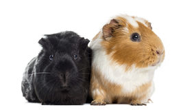 Two Guinea pigs next to each other, isolated Stock Photos