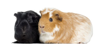 Two Guinea pigs next to each other, isolated Stock Photo