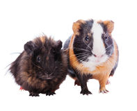Two guinea pigs. Pets standing together isolated on white Royalty Free Stock Photos