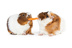 Two Guinea Pigs Sharing Carrot Stock Photography