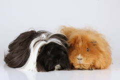 Two guinea pigs sheltie and ch teddy royalty free stock image