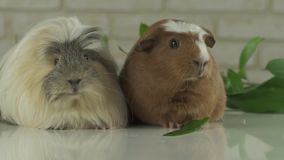 Two guinea pigs talk as announcers on television humor slow motion stock footage video stock footage