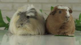 Two guinea pigs talk as announcers on television humor stock footage video stock footage