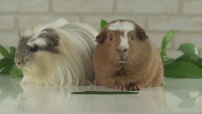Two guinea pigs talk as announcers on television humor stock footage video stock video footage