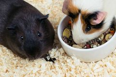 Two guinea pigs top view Stock Photography