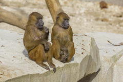Two Guinean Baboons sitting together Stock Photos