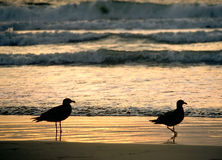 Two Gull Sunset. Two seagulls on the beach at sunset Royalty Free Stock Photo