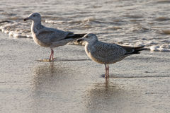 Two gulls at the beach. Two gulls standing on the shoreline Royalty Free Stock Photo