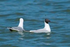 Two gulls Laris ridibundus floating on the waves. Two gulls Black - headed Gulls Laris ridibundus on lake Royalty Free Stock Photo